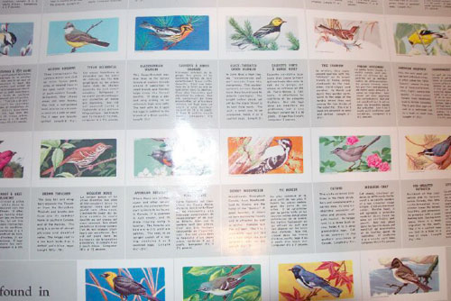 Songbirds of North America wallchart