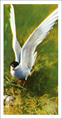 6. The Tern or Sea Swallow