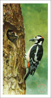 8. The Great Spotted Woodpecker