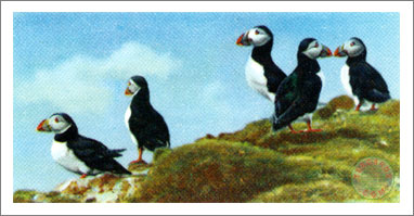 18. The Puffin