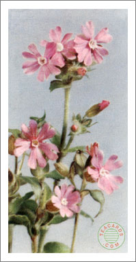 9. Red Campion