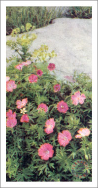 12. Blood-red Cranesbill
