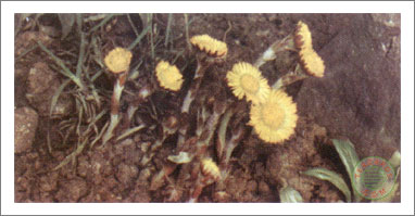 23. Coltsfoot