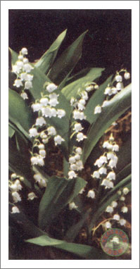 35. Lily of the Valley
