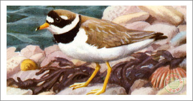28. Ringed Plover