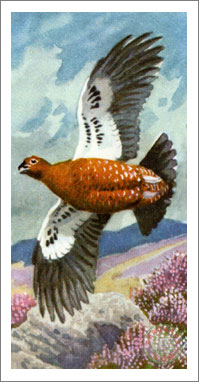 31. Red Grouse