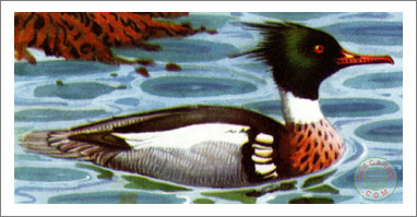 43. Red-Breasted Merganser