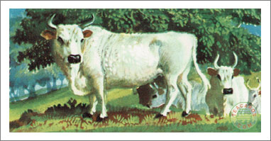3. Wild White or Park Cattle