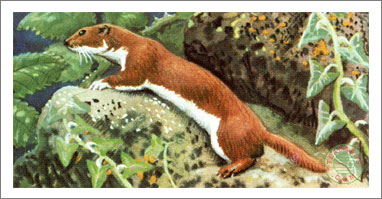 15. The Weasel