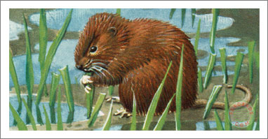 29. The Water Vole