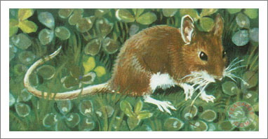 33. The Long-Tailed Field Mouse or Wood Mouse