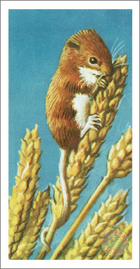 35. The Harvest Mouse