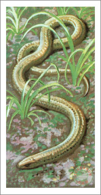 44. Blindworm or Slow-Worm