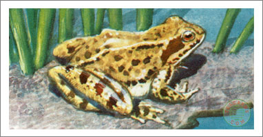 46. The Common Frog