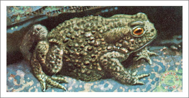 48. The Common Toad