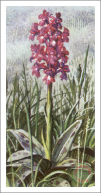 9. Early Purple Orchis