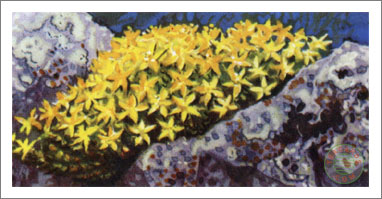 24. Yellow Or Biting Stonecrop