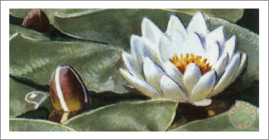 27. White Water-Lily