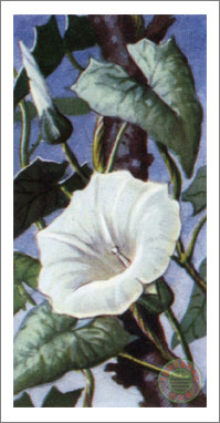 36. Greater Bindweed