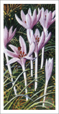 50. Meadow Saffron