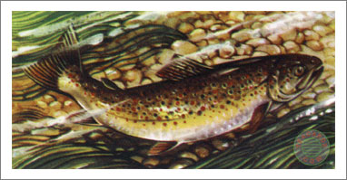 25. Brown Trout