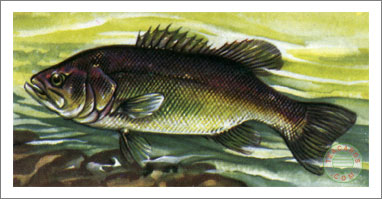 47. Black Bass (large-mouth)